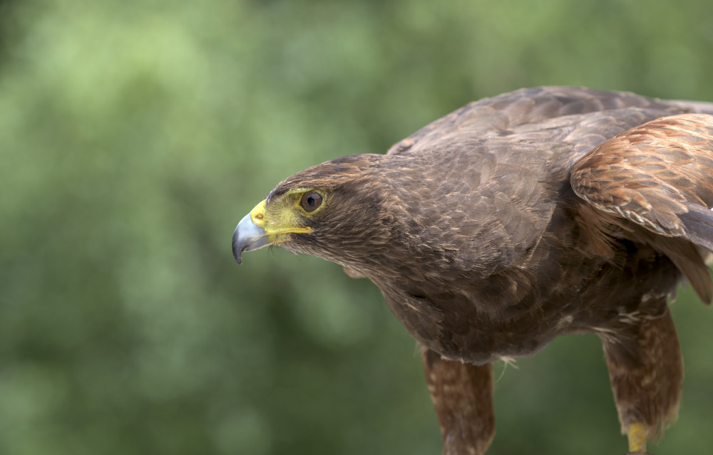 Harris Hawk flying display in Devon